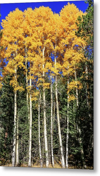 Arizona Aspens In Fall 3 Metal Print
