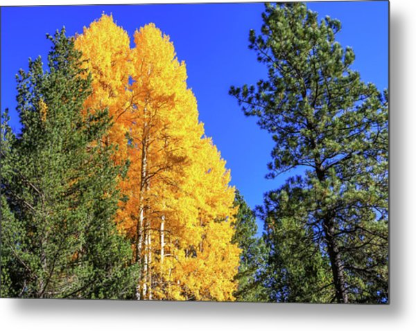 Arizona Aspens In Fall 4 Metal Print