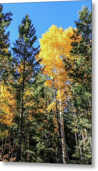 Arizona Aspens In Fall 5 Metal Print