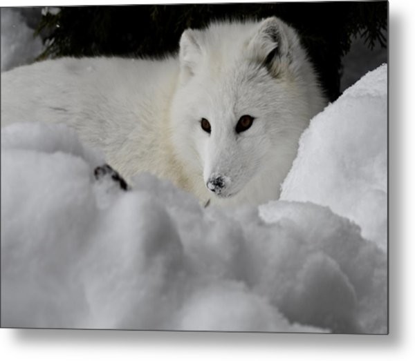 Artic Fox Metal Print