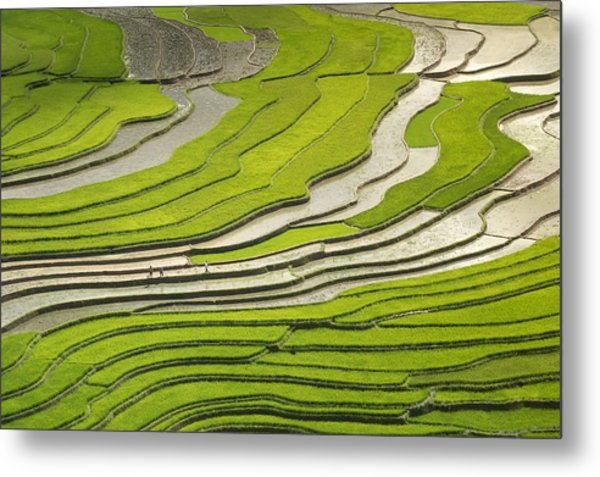 Asian Rice Field Metal Print
