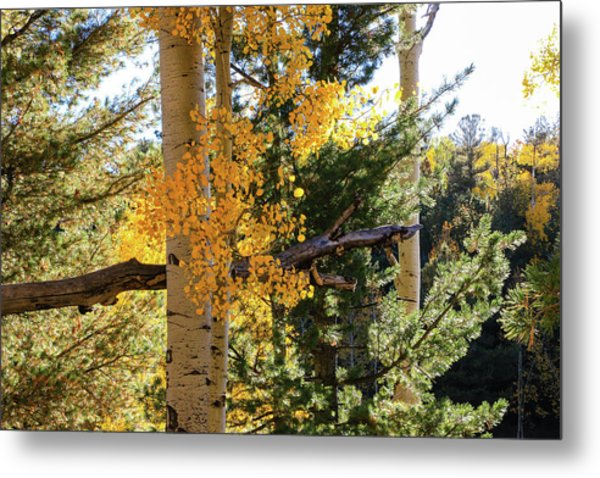 Aspen Tree Close Metal Print