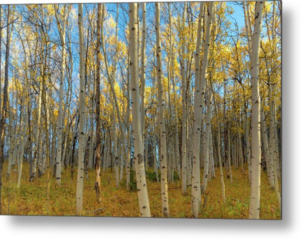 Metal Print featuring the photograph Aspens by Philip Rodgers