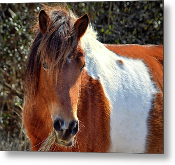 Metal Print featuring the photograph Assateague Pinto Mare Ms Macky by Bill Swartwout Fine Art Photography