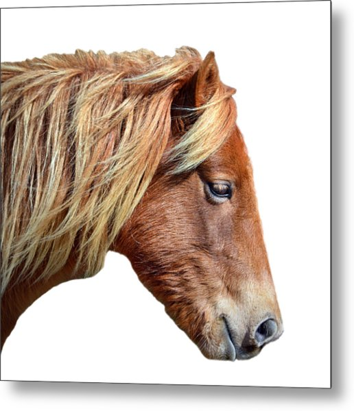 Metal Print featuring the photograph Assateague Pony Sarah's Sweet On White by Bill Swartwout Fine Art Photography