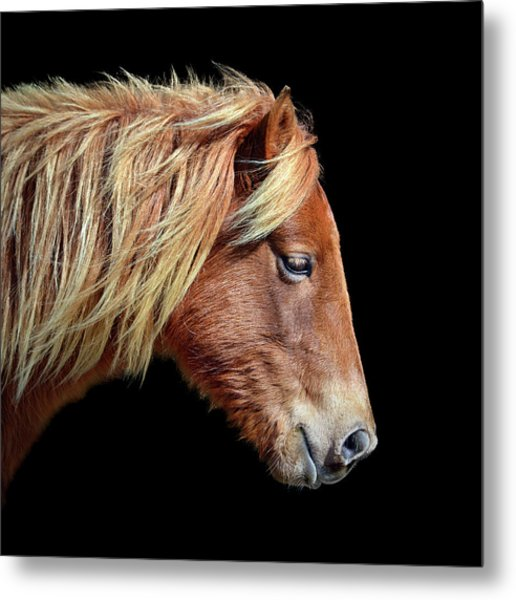 Metal Print featuring the photograph Assateague Pony Sarah's Sweet Tea On Black Square by Bill Swartwout Fine Art Photography