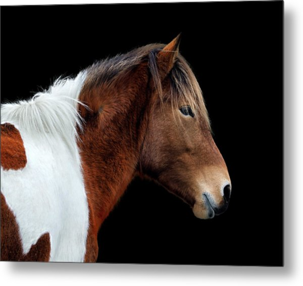 Metal Print featuring the photograph Assateague Pony Susi Sole Portrait On Black by Bill Swartwout Fine Art Photography