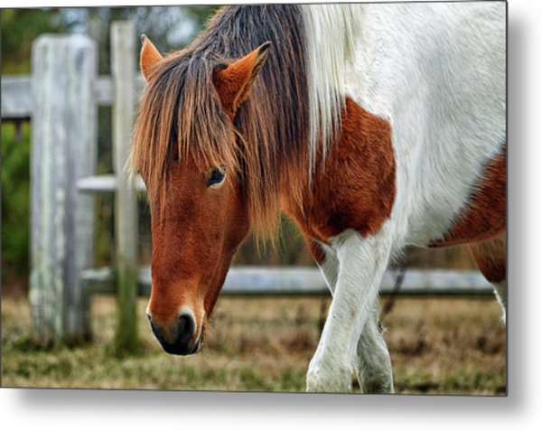 Metal Print featuring the photograph Assateague Wild Horse Susi Sole N2bhs-m by Bill Swartwout Fine Art Photography