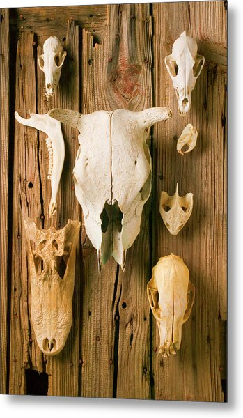 Assorted Animal Skulls On Wooden Fence Metal Print by Garry Gay
