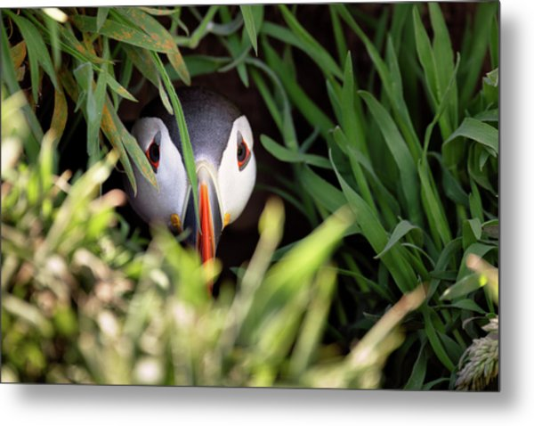 Metal Print featuring the photograph Atlantic Puffin In Burrow by Elliott Coleman