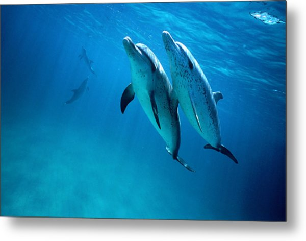 Atlantic Spotted Dolphins, Stenella Metal Print by Tobias Bernhard