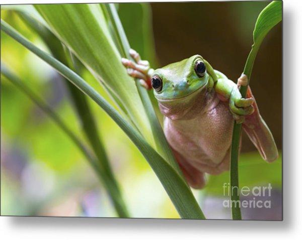 Australian Green Tree Frog On A Leaf Metal Print by Andrew Lam