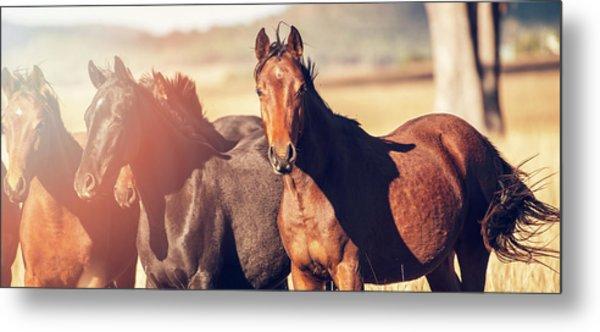 Australian Horses In The Paddock Metal Print