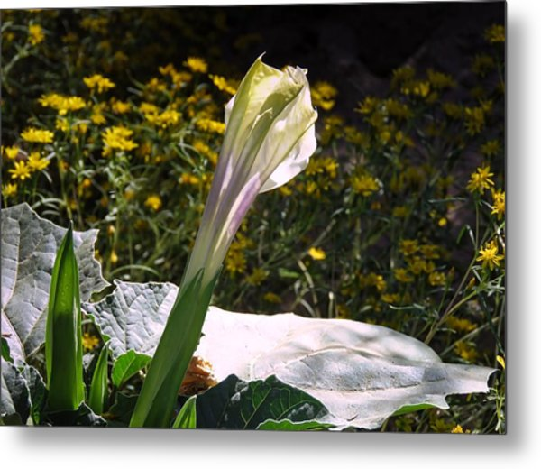 Metal Print featuring the photograph Awakening - Sacred Datura by Judy Kennedy