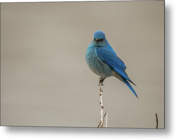 Metal Print featuring the photograph B52 by Joshua Able's Wildlife