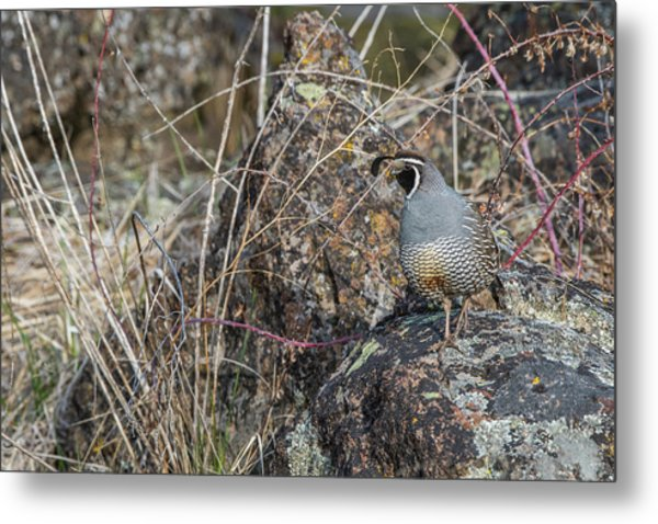 Metal Print featuring the photograph B53 by Joshua Able's Wildlife