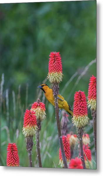 Metal Print featuring the photograph B56 by Joshua Able's Wildlife