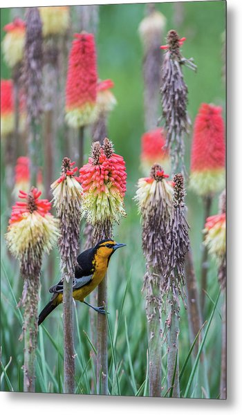 Metal Print featuring the photograph B58 by Joshua Able's Wildlife