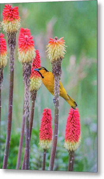 Metal Print featuring the photograph B59 by Joshua Able's Wildlife