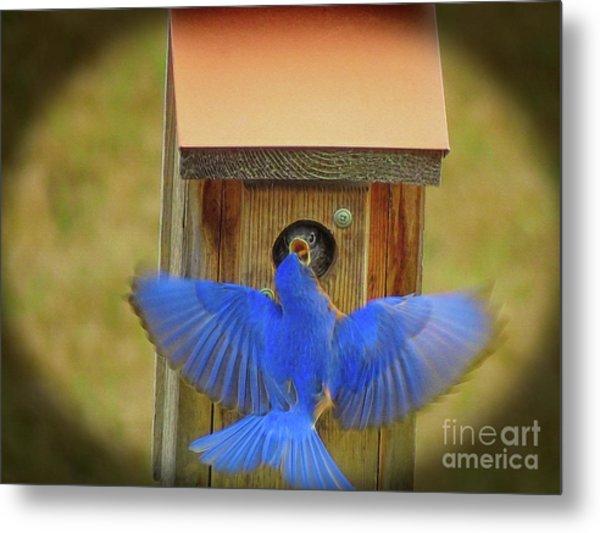 Baby Bluebird Feeding Time Metal Print