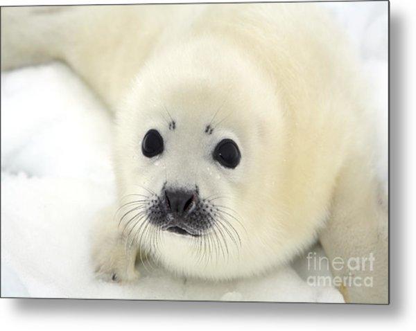 Baby Harp Seal Pup On Ice Of The White Metal Print by Vladimir Melnik