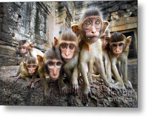 Baby Monkeys Are Curious,lopburi Metal Print by Jeep2499