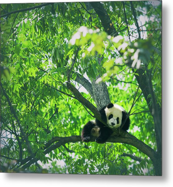 Baby Panda Resting On A Tree Metal Print by Mediaproduction