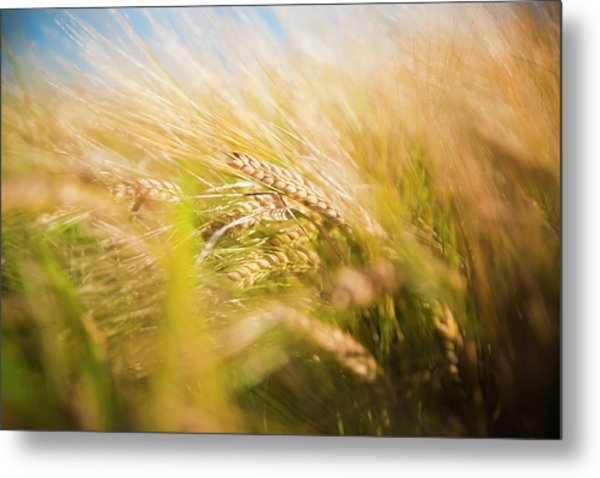 Background Of Ears Of Wheat In A Sunny Field. Metal Print