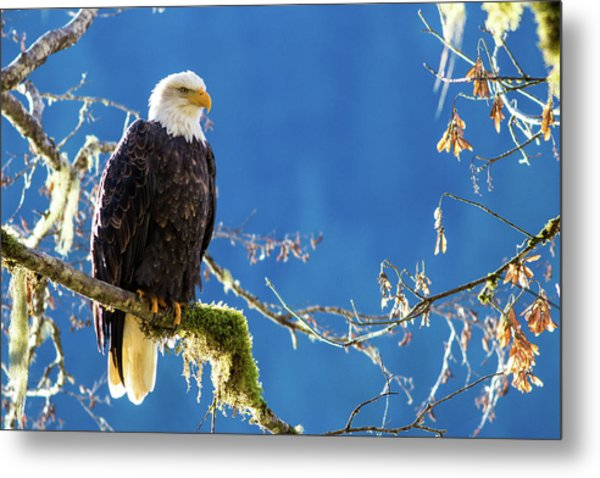 Backlit Bald Eagle In Squamish Metal Print