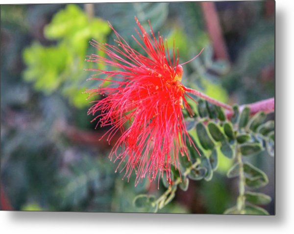 Baja Fairy Duster Metal Print