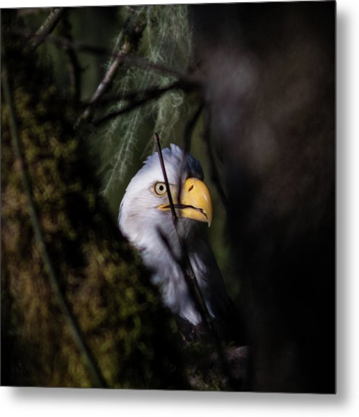 Bald Eagle Behind Tree Metal Print