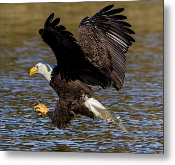 Metal Print featuring the photograph Bald Eagle Fishing On The James River by Lori Coleman