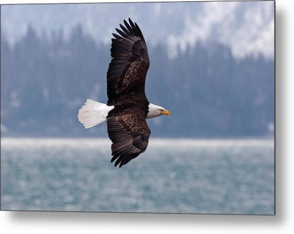 Bald Eagle In Action Metal Print by Mark Miller Photos