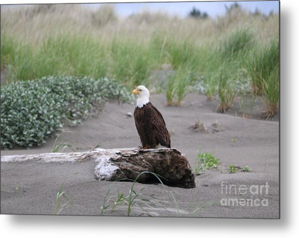 Bald Eagle On Driftwood Metal Print