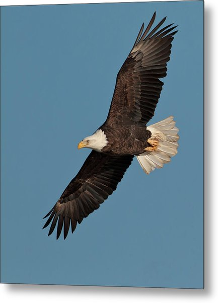 Bald Eagle Metal Print by Straublund Photography