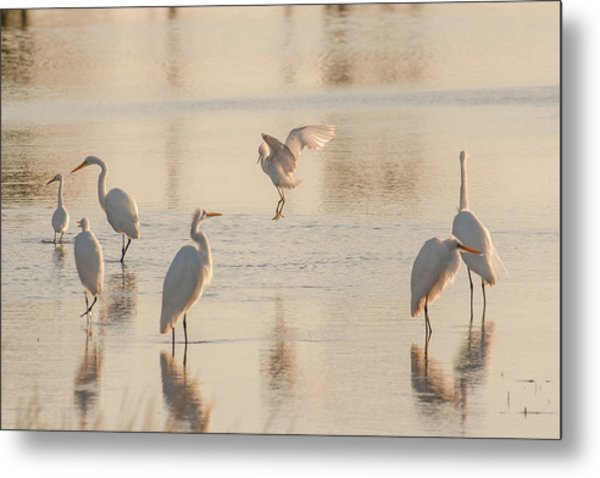Ballet Of The Egrets Metal Print