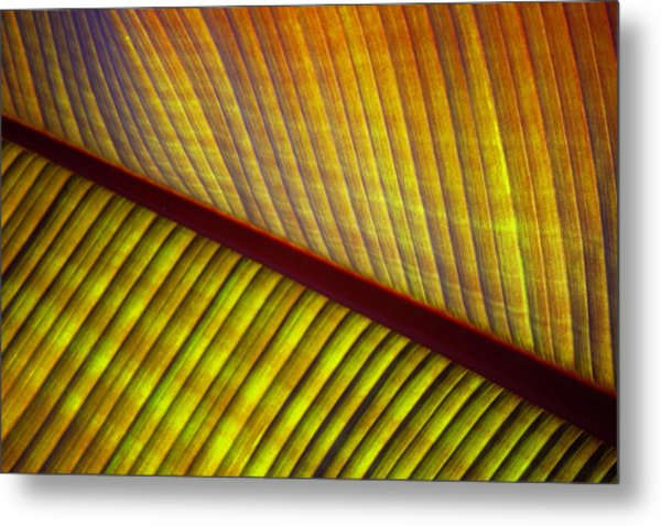 Banana Leaf 8603 Metal Print
