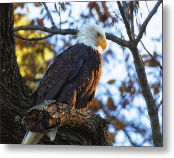 Metal Print featuring the photograph Bandit by Lori Coleman