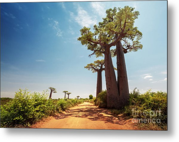 Baobab Trees Along The Unpaved Red Road Metal Print