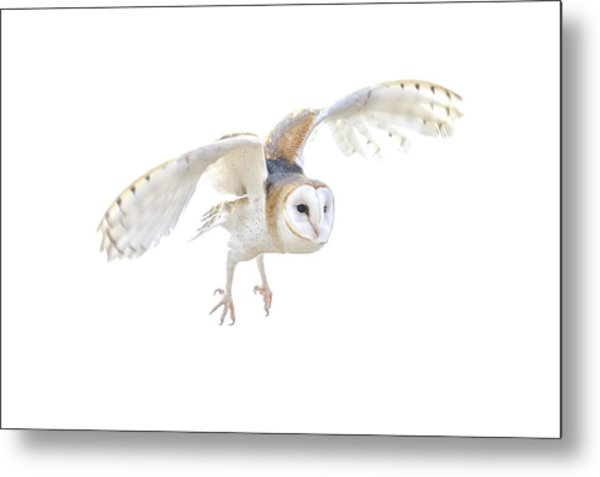 Barn Owl In Flight Metal Print