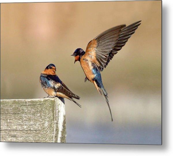 Barn Swallow Conversation Metal Print