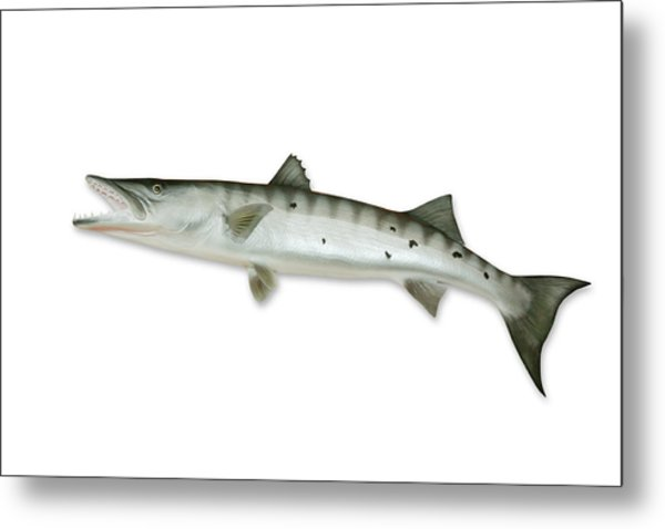 Barracuda With Clipping Path Metal Print by Georgepeters