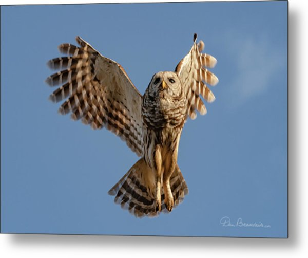 Barred Owl In Flight 0130 Metal Print