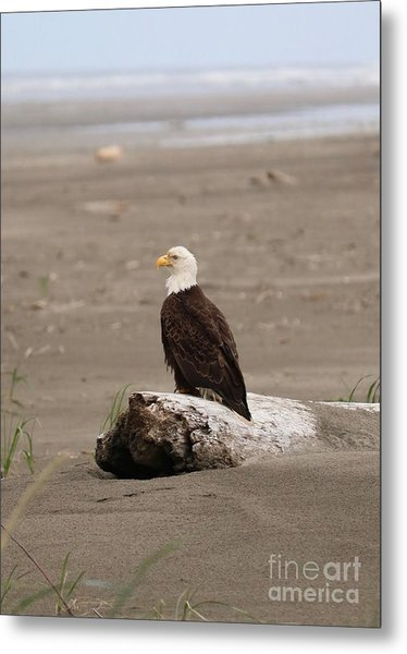 Beach Bald Eagle Metal Print