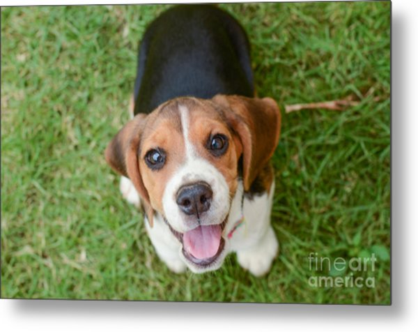 Beagle Puppy Sitting On Green Grass Metal Print by Mr.es