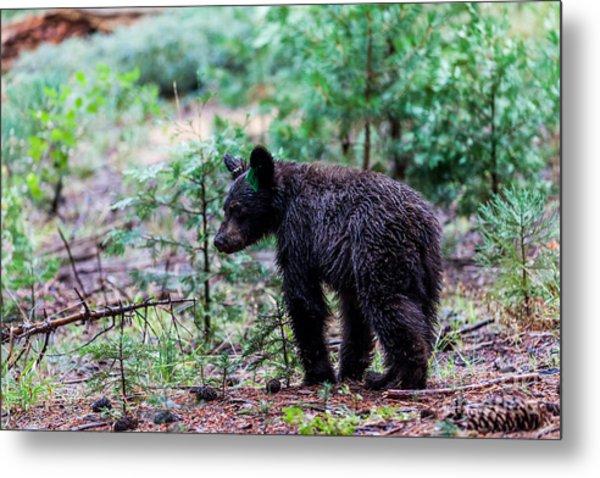 Bear In Sequoia National Park Metal Print