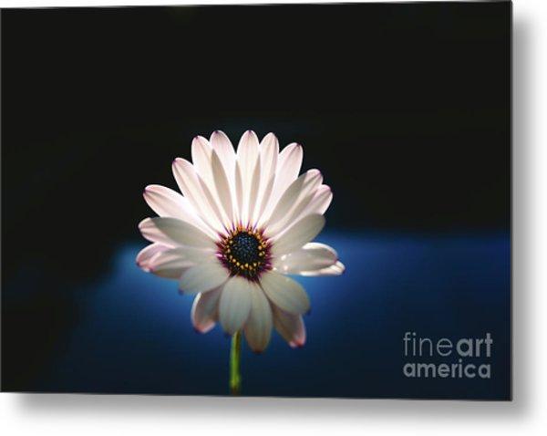 Beautiful And Delicate White Female Flower Dark Background Illum Metal Print