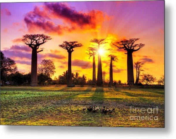 Beautiful Baobab Trees At Sunset At The Metal Print