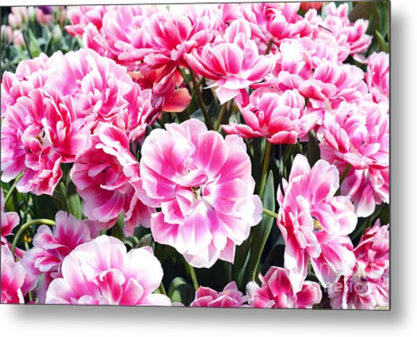 Beautiful Pink Tulips In The Spring Time Metal Print