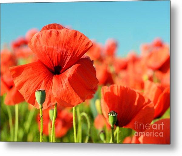 Beautiful Poppies Bloom Amidst Poppy Metal Print